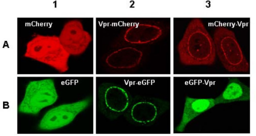 Subcellular localization of eGFP or mCherry tagged Vpr by confocal microscopy. HeLa cells were co-transfected with 0.5 μg of each plasmid and 0.5 μg pcDNA3. Cells were observed by confocal microscopy 24 h post transfection. Each panel shows the major phenotype. (A) mCherry images with excitation at 568 nm and emission at 580 to 700 nm. (B) eGFP images with excitation at 488 nm and emission at 500 to 550 nm. Note the intracellular redistribution of eGFP and mCherry upon fusion with Vpr.