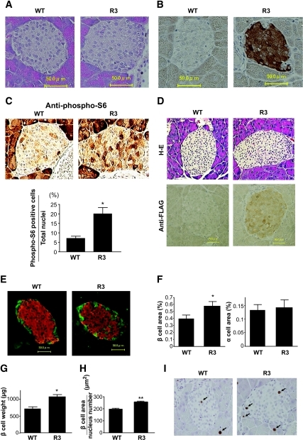Increased β-cell mass and cell growth in transgenic mice. A: Hematoxylin and eosin staining of representative pancreatic sections from 8-week-old R3 transgenic mice and their wild-type littermates. B and C: Immunostaining with the anti-FLAG antibody (B) and anti–phospho-S6 (Ser235/236) antibody (C, upper panels) of representative pancreatic sections from 8-week-old R3 transgenic mice and wild-type littermates. Ratio of the number of dark staining cells to the total number of nuclei in islets from transgenic mice and wild-type littermates is shown (C, lower panels). D: Hematoxylin and eosin (H-E) staining and immunostaining with the anti-FLAG antibody of representative pancreatic sections from 90-week-old R3 transgenic mice and their wild-type littermates. E: Immunostaining with the anti-insulin (red) and the anti-glucagon (green) antibodies of representative pancreatic sections from 8-week-old R3 transgenic mice and their wild-type littermates. F: Quantification of β- and α-cell area as a percentage of total pancreatic area in transgenic mice and their wild-type littermates. G: β-Cell mass was calculated by the β-cell area and pancreas weight. H: The relative size of β-cells in the transgenic mice and their wild-type littermates was calculated. I: Immunostaining with anti–Ki-67 antibody of representative pancreatic sections from 9-week-old R3 transgenic mice and their wild-type littermates. Data are the means ± SE of values from four (C), five (F), four (G), and five (H) animals from each genotype. * P < 0.05; ** P < 0.01. WT, wild type. (A high-quality digital representation of this figure is available in the online issue.).
