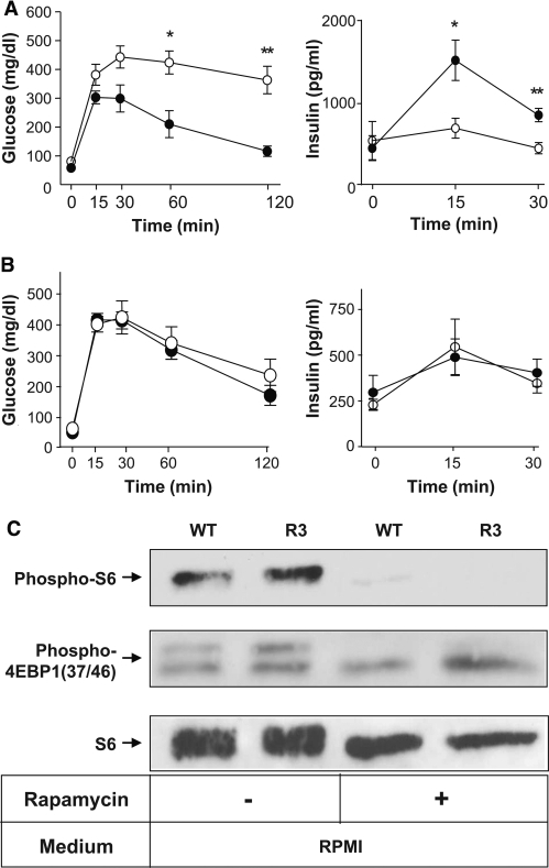 A: Transgenic mice were resistant to obesity-induced hyperglycemia. Oral glucose tolerance tests were performed in Ay/Rheb mice (●) and Aylittermates (○). Blood glucose concentrations and plasma insulin concentrations are shown. B: Elimination of the effect of Rheb expression in β-cells after administration with rapamycin. Oral glucose tolerance tests were performed in rapamycin-treated transgenic mice (●) and their rapamycin-treated wild-type littermates (○). Blood glucose and plasma insulin concentrations are shown. Data are the means ± SE of values from five (A and B) animals from each genotype. C: Islets were prepared from rapamycin- or vehicle-treated mice of each genotype and incubated for 1 h in RPMI, and the same amounts of cellular extracts were analyzed by immunoblotting with the antibodies to phospho-S6 ribosomal protein (Ser235/236), phospho-4EBP1 (Thr37/46), or S6 ribosomal protein. * P < 0.05; ** P < 0.01. WT, wild type.