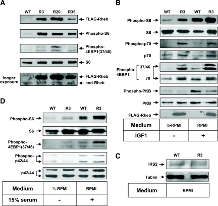 Activation of the mTORC1 pathway by overexpression of FLAG-Rheb in pancreatic β-cells. Islets isolated from mice of each genotype were incubated either in 50% RPMI medium without FCS (A, B, and D) or in RPMI medium (C), or they were stimulated with 100 nmol/l IGF-1 (B) or 15% FCS (D) as indicated. The same amounts of cellular extracts were analyzed by immunoblotting with the antibodies to Rheb, phospho-S6 ribosomal protein (Ser235/236), S6 ribosomal protein, phospho-4EBP1 (Thr37/46 or Thr70), phospho-p70 S6 kinase (Thr389), p70 S6 kinase, phospho-PKB (Ser473), PKB, phospho-p44/42 MAP kinase (Thr202/Tyr204), p44/42 MAP kinase, or IRS2. A representative experiment is shown. The bottom panel in A shows the same blot as the top panel, except that it was exposed longer to detect the endogenous Rheb (end-Rheb). E: Relative quantification of phospho-S6 (Ser235/236), phospho-4EBP1 (T37/46 or T70), phospho-PKB (Ser473), phospho-p44/42 MAP kinase (Thr202/Tyr204), and IRS2. The immunoblots were scanned, and the optical density for R3 with IGF1 or FCS stimulation (A, B, and D) or the optical density for R3 (C) was set to 100%. F: Immunoprecipitation with the anti-FLAG antibody was performed using lysates of the hypothalamus, muscle, or liver isolated from mice of each genotype and analyzed by immunoblotting with the same antibody. WT, wild type.