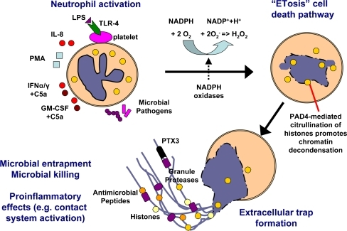 Model for formation of neutrophil extracellular traps. Neutrophils are activated by contact with microbial pathogens different stimuli such as LPS, IL-8, PMA, IFN-α/γ + C5a or GM-CSF + C5a. Stimulation of neutrophils results in the activation of NADPH oxidases and the formation of reactive oxygen species (ROS). ROS signaling is required for the novel cell death pathway of ETosis, which is characterized by the disruption of the nuclear membrane, chromatin decondensation, and the mixing of nuclear contents with cytoplasmic and granular proteins. As a final step, nuclear and granular components are released by the dead cell generating the extracellular traps. Extracellular traps have the ability to entrap and/or kill different microbes, while also enhancing proinflammatory innate immune responses