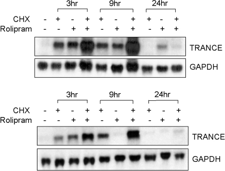 The attenuation of rolipram-induced TRANCE mRNA expression requires the transcriptional repressor in osteoblasts. A. UAMS-32 cells were treated with 5 µM rolipram, 1 µg/ml cycloheximide (CHX) or rolipram and CHX (the CHX was added 1hr before the rolipram). The total RNA was extracted from the cells at the indicated times. Total RNA was analyzed by Northern blot using probes for TRANCE and GAPDH. B. primary mouse calvarial cells were treated in a similar manner shown in A.