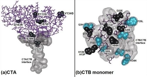 Structural models of CTA (a) and CTB (b) subunits with knownmutations at the respective structural interfaces or solvent accessible regions inthe complex among archived serogroups. We used the structure with PDB entry(1XTC) for generating this visual using the freeware Discovery studio fromAccelrys Inc.  A total of 6 unique mutations thus observed among the knownCTA sequences (Table 4 in supplementary material) from several serogroups are shown at theircorresponding 6 residue positions using the CPK residue model representation.All of these 6 mutated positions are present at the solvent exposed regions ofCTA in both monomer and CTA/CTB complex state.A total of 7 out of 14 unique mutations thus observed among the known CTB sequences (Table 4 in supplementary material)from several serogroups are shown at their corresponding 7 (3, 15, 25, 34, 47,52 and 60) out of the 13 residue positions using the CPK residue modelrepresentation are at the CTB/CTB interfaces in the B5 complex.