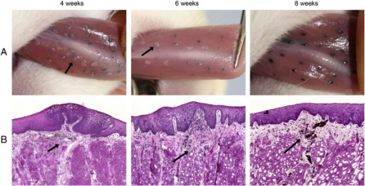 Formation of papillomas following experimental infection. The mucosa of the ventral surface of the tongue was infected using a crude papilloma homogenate mixed with tattoo ink. The gross (row A) and histological (row B) appearance of lesions is shown at 4, 6 and 8 weeks post-infection by photographs taken under general anaesthesia and H&E stained cryosections obtained after culling of animals. The locations of tattoo ink on H&E stained sections are shown by arrows.