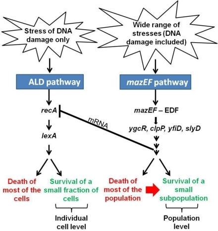 A suggested model for the inhibition of the recA- and lexA-mediated apoptotic-like pathway by the EDF-mazEF pathway.Our model is based on the mazEF downstream pathway [27] and the EDF-mazEF-mediated cell death pathway [16],[24]–[28] that we have described previously [16],[24]–[28] and on the recA- and lexA-mediated apoptotic-like pathway on which we have reported here. For additional explanations see also Results and Discussion.