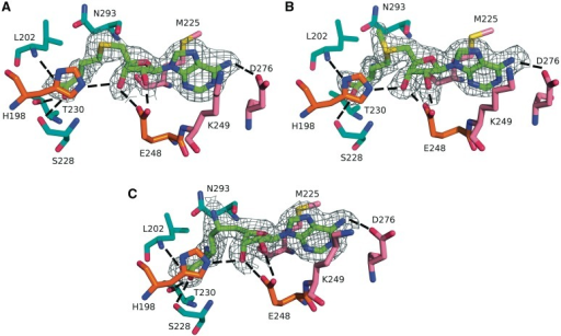 Active site of PfTrm14 bound to (A) SAH, (B) SAM and (C) SFG. The 2Fo − Fc omit density map is shown for the ligands. The map is contoured at 2 σ within 1.6 Å of the ligand. The ligands are shown with their C atoms colored green, the amino acid residues are shown with their C atoms colored pink (interacting with adenine), orange (interacting with ribose) or cyan (interacting with the homocysteine part). Hydrogen bonds are indicated by dashed lines.