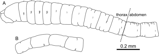Mediomastus duobalteus sp. n., holotype, CBM-ZW 1088. A Anterior end of body, left lateral view B abdominal segments, left lateral view.