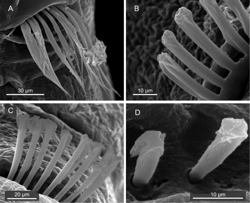 Mediomastus duobalteus sp. n., paratype, CBM-ZW 1089, SEM images. A Capillary chaetae on segment 3 B notopodial hooded hooks on segment 6 C neuropodial hooded hooks on segment 6 D notopodial hooded hooks on segment 13.