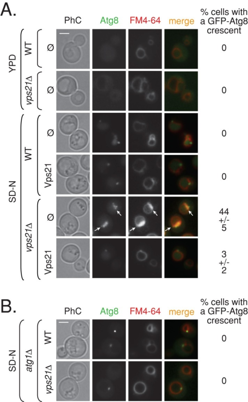 Atg1-dependent accumulation of GFP-Atg8 crescent-like structures in vps21∆ mutant cells. (A) Vps21 suppresses accumulation of GFP-Atg8 crescents in vps21∆ mutant cells under nitrogen starvation. Wild-type and vps21∆ mutant cells expressing GFP-Atg8 were transformed with a plasmid for expression of Vps21 (as in Figure 1B). The cells were shifted from rich (YPD, top) to starvation medium (SD-N, bottom), their vacuoles were stained with FM4-64, and they were analyzed by live-cell fluorescence microscopy. In wild-type and vps21∆ mutant cells grown in rich medium (YPD), GFP-Atg8 is diffuse and occasionally localizes to a single dot next to the vacuole. In wild-type cells starved for nitrogen (SD-N), GFP-Atg8 localizes inside the vacuole membrane, which is marked by FM4-64, and to a single dot of the AP per cell. However, whereas GFP-Atg8 can be seen in the vacuole of some vps21∆ mutant cells under nitrogen starvation, in ∼45% of these cells, GFP-Atg8 accumulates in crescent-like structures, which overlaps with the FM4-64 signal. Expression of Vps21 in mutant cells suppresses this accumulation (number of cells visualized for each strain: >300 in YPD; >800 in SD-N). Left to right, PhC, GFP-Atg8, FM4-64, merge, and percentage of cells with a GFP-Atg8 crescent. Arrows point to GFP-Atg8 crescents in vps21∆ mutant cells. (B) Accumulation of GFP-Atg8 crescents in vps21∆ mutant cells depends on Atg1. ATG1 was deleted in wild-type and vps21∆ mutant cells. GFP-Atg8 accumulation and vacuolar morphology were determined as described in A. In atg1∆ mutant cells, GFP-Atg8 accumulates in a single dot outside the vacuole, and crescent-like structures of GFP-Atg8 were not observed in the atg1∆ vps21∆ double-mutant cells (number of cells visualized for each strain, >500). Bar, 2 μm. Results represent two independent experiments.