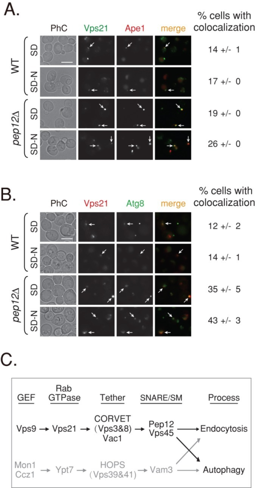 Vps21 colocalizes with autophagosomal markers. (A) Colocalization of GFP-Vps21 with RFP-Ape1 in wild-type and pep12∆ mutant cells. GFP-Vps21 and RFP-Ape1 were integrated into the genome of wild-type (top) and pep12∆ mutant (bottom) cells. Cells grown in SD or shifted to SD-N were visualized by live-cell fluorescence microscopy. Left to right, GFP-Vps21, RFP-Ape1, merge, and percentage of cells with colocalization. In wild-type cells, Ape1 is found inside the vacuole (Shintani et al., 2002) and localizes to a single dot of the AP. In pep12∆ mutant cells, Ape1 accumulates outside the vacuole in APs. Vps21 accumulates in multiple dots or a cluster per cell, and in 14–26% of the cells, one of the Vps21 dots colocalizes with Ape1. (B) Colocalization of RFP-Vps21 with GFP-Atg8 in wild-type and pep12∆ mutant cells. GFP-Atg8 was integrated into the genome of wild-type (top) and pep12∆ mutant (bottom) cells, and RFP-Vps21 was expressed from a plasmid (Markgraf et al., 2009). The experiment was performed as described in A. Left to right, RFP-Vps21, GFP-Atg8, merge, and percentage of cells with colocalization. In wild-type cells, Atg8 is found inside the vacuole and localizes to a single dot of the AP. In pep12∆ mutant cells, Atg8 accumulates outside the vacuole, in SD medium to a single dot, and in SD-N to a cluster (as in vps21∆ mutant cells). RFP-Vps21 localizes to multiple dots or a cluster, and one of them colocalizes with GFP-Atg8 in ∼14 and ∼43% of wild-type and pep12∆ mutant cells, respectively. Percentage of cells with colocalization of the Vps21 with the AP marker was determined in cells that contain both green and red puncta; >130 wild-type cells; >350 pep12∆ mutant cells. Arrows point to areas of colocalization of Vps21 with the AP marker; bar, 5 μm; ± represents SD. Results in A represent three independent experiments and in B four independent experiments. (C) Convergence of the endocytic and autophagic pathways. We propose that the two pathways leading to the lysosome converge through two Ypt/Rab modules: Vps21 (black) and Ypt7 (gray). Ypt7, its GEF, and effectors were previously shown to regulate both endocytosis and autophagy (Noda et al., 2009). A role for Vps21, its GEF, and effectors was established in endocytosis (Stack et al., 1995; Epp et al., 2011). Here we show that the endocytic Vps21 module also regulates autophagy. Factors that function downstream of Vps21 include a number of effectors, the tethering complex CORVET (Vps3 and Vps8), the adaptor/tether Vac1, and the SM protein Vps45, as well as the SNARE Pep12.