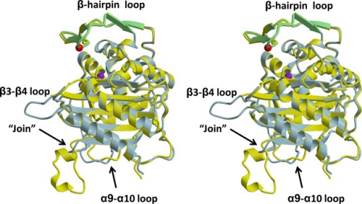 Superimposition of the structures of PBP2-t3-6140 and the TPase/β-lactam-bindingdomain from wild-type PBP2. In this stereoview, each molecule is displayedin cartoon form, with PBP2-t3-6140 colored blue and wild-type PBP2colored yellow. Regions exhibiting structural differences are indicated.The β-hairpin region of PBP2-t3-6140 is colored green. The locationof the Asp insertion is indicated by a red sphere, corresponding tothe Cα position, and that of Ser310 by a purple sphere.