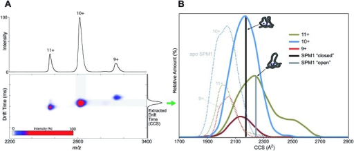 Non-denaturing ion mobility MS reveals different conformations of di-Zn(ii)-SPM-1 as compared to the theoretical collisional cross section (CCS) values of the 'open' and 'closed' crystal forms.