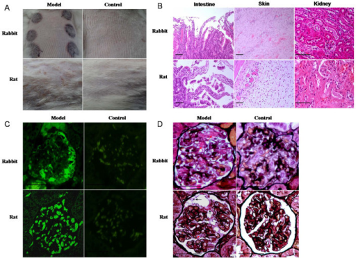 External characteristics and pathological changes in HSP rat and rabbit models (A) The skin systems of rabbit and rat in models and controls. (B) Pathological changes in HSP rabbit models: shedding of the intestinal villus epithelium, dermal hemangiectasis, hyperemia and hemorrhage, glomerular capsule cavity effusion, and protein casts in the tubular lumens; pathological changes in HSP rat models: Shedding of the intestinal villus epithelium, edema and vasodilation in the dermis, glomerular capsule cavity effusion, and protein casts in the tubular lumens. (C) IgA IC positive deposition (green arrow) in the glomerulus of the HSP rat and rabbit model, and negative in the controls. (D) Glomerular capsule cavity effusion (black arrow) and IC deposition (red arrow) in glomerular mesangial cells of the HSP rat and rabbit model. n = 10–18. Bar = 100 μm.