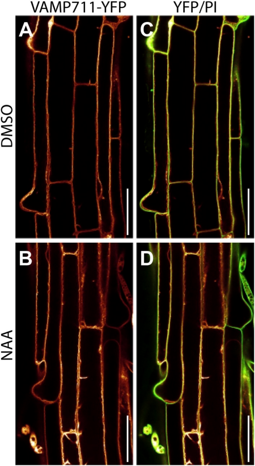 Auxin does not affect vacuolar morphology of epidermal root cells in the differentiation zone.DMSO (A and C) or NAA (B and D) (250 nM, 20 hr) -treated pUBQ10::VAMP711-YFP (orange) expressing seedlings imaged at the onset of root hair bulging (differentiation zone). Propidium-iodide (PI)-stained cell walls (green). (C and D) Overlay of YFP and PI. Scale bar: 50 µm.DOI:http://dx.doi.org/10.7554/eLife.05868.005