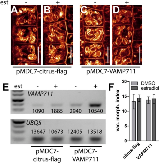 Induction of a single SNARE component is not sufficient to affect vacuolar morphology.(A–D) Estradiol induction of VAMP711. pMDC7::citrus-flag (control) after DMSO (A) or estradiol (B) (2 µM) treatment. VAMP711 expression under control of an estradiol inducible promoter after DMSO (C) or estradiol (D) (2 µM) incubation. Vacuoles were decorated with FM4-64 (orange). (E) Semi-quantitative RT-PCR of VAMP711 in pMDC7::citrus-flag and pMDC7::VAMP711 expressing plants with (+) and without (−) estradiol induction (2 µM; 20 hr). UBQ-5 expression was used for normalisation. Depicted values represent quantification of mean grey values of corresponding bands. (F) Vacuolar morphology (vac. morph. [µm2]) index of estradiol induced pMDC7::citrus-flag and pMDC7::VAMP711 expressing seedlings compared to the uninduced control. Scale bar, 15 µm.DOI:http://dx.doi.org/10.7554/eLife.05868.012