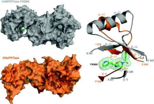 FK866-binding-site: structural comparison between hNMPRTase and hNaPRTase. Human NMPRTase structure in complex with its inhibitor FK866 (PDB ID: 2GVJ) is colored in gray and hNaPRTase is colored in orange. Structural superposition between these two structures highlight, in hNaPRTase, of the tunnel where FK866 binds in hNMPRTase. Buried surface areas of hNMPRTase (upper left panel) and hNaPRTase (lower left panel) monomers are represented and FK866 is shown as green stick. A ribbon represented close-up view (right panel) of the superposed secondary structure elements sterically hampering (in hNaPRTase) or permitting (in hNMPRTase) the binding of FK866. Steric hindrance of FK866 is represented by light green spheres.