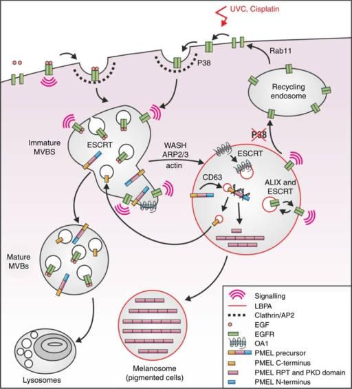 A working model for stress- versus EGF-induced EGFR trafficking.EGF stimulation triggers plasma membrane receptor activation and ubiquitination before internalization, whereas stress exposure induces p38-dependent EGFR-T669 phosphorylation and internalization into CCPs via interaction with AP2. EGF-bound and stress-internalized EGFR are then sorted from early endosomes onto separate MVB subsets, with stress-internalized EGFR undergoing WASH-dependent co-segregation with pre-melanosomal markers OA1 and fibrillar PMEL, whereas EGF-bound EGFR is retained in degradative MVBs by ubiquitin/ESCRT-dependent sorting onto ILVs and transported to lysosomes for degradation. Stress-exposed EGFR becomes activated post-internalization, and is largely retained in non-degradative MVBs from where it signals by the continued action of p38 in a mechanism that involves ALIX- and ESCRT-dependent receptor sorting onto ILVs, and may include cycles of internalization and back-fusion of ILVs with MVB-limiting membranes.