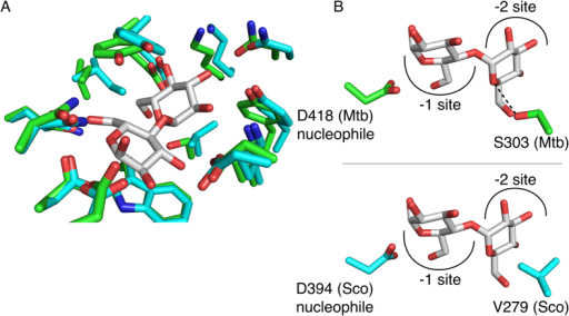 Mtb GlgE M1P donor site.(A) The M1P donor sites of the Mtb GlgE (green) and Sco GlgEI (cyan) with the active site nucleophile and maltose bound. (B) Both donor sites are highly conserved with the only difference being the presence of a serine (S303) in the Mtb GlgE, while a valine (V279) is present in the Sco GlgEI.