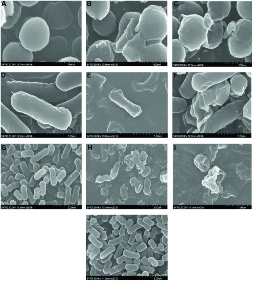 Scanning electron micrographs of S. aureus(A–C), B. subtilis(D–F), and (G–J) cells: control (A,D,G), treated with D-limonene organogel-nanoemulsion (B,E,H), treated with D-limonene organogel-nanoemulsion with nisin (C,F,I), and E.coli treated with organogel-nanoemulsion with nisin (J), at MIC value for 3 h (magnification × 30,000 or 50,000).