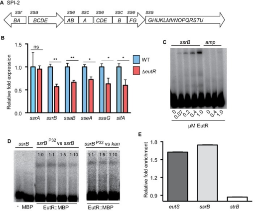 EutR regulates SPI-2 expression.(A), Schematic of SPI-2. (B) qRT-PCR analysis of SPI-2-encoded and associated (sifA) genes from RNA isolated from S. Typhimurium (AJK61) or the ΔeutR (CJA023) strains after 5 h phagocytosis in RAW macrophages. n = 3; error bars represent the geometric mean ± SD; strB was used as the endogenous control. (C) EMSAs of ssrB and amp (ampicillin) with EutR::MBP. (D) EMSAs of ssrB with MBP or EutR::MBP. Also, competition EMSAs with EutR::MBP. The assay was performed with increasing amounts of unlabeled ssrB promoter probe. A competition assay was also performed using the kan promoter as a negative control. The ratios represent hot:cold probe. (E) qPCR showing enrichment of eutS, ssrB, and strB from in vivo ChIP of EutR::MBP (n = 2). *, P ≤ 0.05; **, P ≤ 0.005; ***, P ≤0.0005; P > 0.05 = ns.