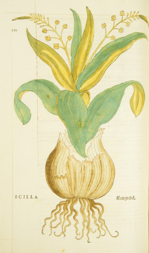 <p>Hand-colored woodcut of a sea onion.</p>