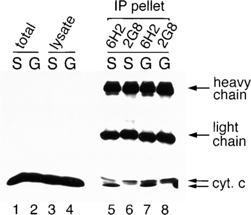 Immunoprecipita-tion of Drosophila cytochrome c. Western blot analyses were used to visualize  immunoprecipitated proteins that were probed with  anti–cytochrome c mAb 7H8.  Lanes 1 and 2 show whole  cell suspension of healthy  SL2 cells (S) and grim-expressing cells 4 h after induction  (G). Lanes 3 and 4 were precleared lysates used for immunoprecipitation (see Materials and Methods). Lanes 5–8 were immunoprecipitates from SL2 or grim-expressing cell lysates using two  anti–cytochrome c mAbs, 6H2 and 2G8. The same two cytochrome c bands were also observed in lanes 1–4 on shorter exposures.