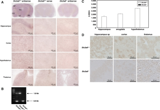 Analyses of GLUT8 expression in mouse brains by in situ hybridization. (a) 20 μm cross-sections of mouse brains were hybridized with GLUT8-specific digoxigenin-labeled riboprobes and stained by standard colorimetry as described in Material and methods. Signals were obtained with the antisense probes (left panel), whereas sections of Slc2a8−/− brains did not show signals (right panel). As an additional control, brain sections from wild-type mice were incubated with probes corresponding to the sense strands of GLUT8 (middle panels). AA, amygdala; CO, cortex; HP, hippocampus; TH, thalamus; HT, hypothalamus. (b) Genotyping of mice was performed by PCR as described in Material and methods. (c) Slc2a8 mRNA levels of Slc2a8+/+ and Slc2a8−/− littermates in hippocampus, amygdala, and hypothalamus were assayed by quantitative real time-PCR (qRT-PCR) as described in Material and methods. (d) Immunohistochemical detection of GLUT8 in the hippocampus, cortex, and thalamus. Sections of the brain from Slc2a8+/+ and Slc2a8−/− mice were fixed with paraformaldehyde and incubated with the anti-GLUT8 antiserum. The immunostaining was performed with peroxidase-conjugated secondary antibody as described in Material and methods