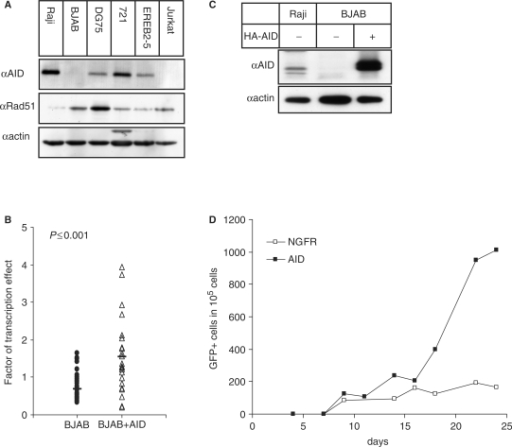 Effect of AID on recombination activity. (A) AID and Rad51 protein levels in the cell lines studied. (B) Factor of transcription effect of BJAB subclones without and with overexpression of HA-AID. (C) Comparison of endogenous and HA-tagged AID protein expression levels in Raji and BJAB cells transfected with the HA-AID- or NGFRt-expression vector. A minute lower migrating band seen in some experiments for endogenous AID likely represents a degradation product. (D) Recombination events in BJAB cells transfected with the reporter and the HA-AID- or NGFRt-expression vector. Completion of selection of cells bearing both the recombination reporter and the overexpression vector was achieved around day 16.