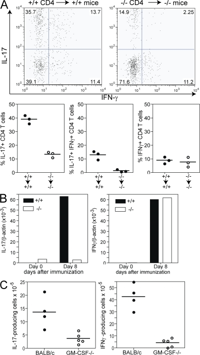 GM-CSF−/− mice show reduced frequencies of IL-17+IFN-γ− and IL-17+IFN-γ+ CD4+ T cell populations. (A) CD4+ T cells purified from DO11.10/GM-CSF+/+ or DO11.10/GM-CSF−/− mice were adoptively transferred to GM-CSF+/+ or GM-CSF−/− mice, respectively, 2 d prior to immunization with 200 μg OVA323-339 peptide emulsified in CFA. Mice were boosted at day 7 and draining LN were removed at day 14 to determine KJ1-26+ CD4+ T cells producing IL-17 or IFN-γ by flow cytometry. Top shows dot plots of a representative mouse per group. Bottom shows the frequency of cytokine-producing cells in individual mice. (B and C) GM-CSF−/− and GM-CSF+/+ mice were immunized with myhcα614-629/CFA at days 0 and 7. (B) IL-17 and IFN-γ expression was determined by real-time PCR using cDNA from CD4+ T cells purified from draining LN at day 8. Values show means of groups (n = 3) of mice ±SD. (C) At day 14, CD4+ T cells were isolated from LN and restimulated with myhcα614-629 as described in Materials and methods. IFN-γ– and IL-17–producing cells were determined by ELISPOT analysis. Values indicate individual mice and means of groups.