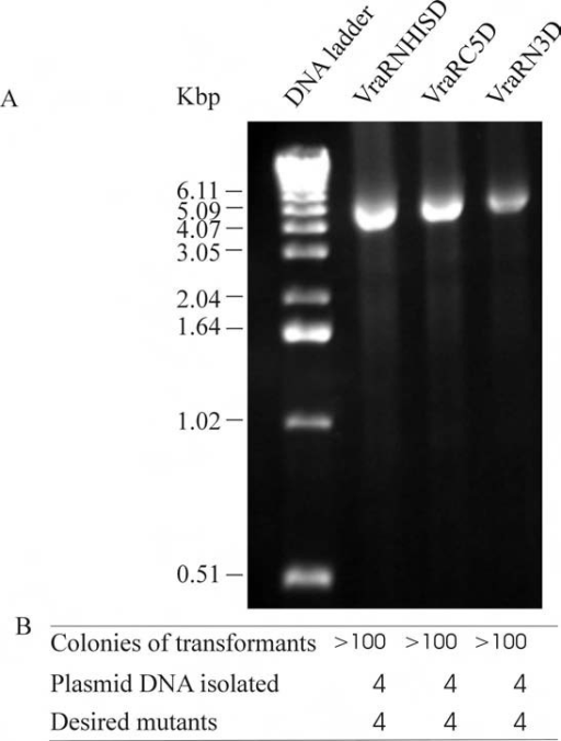 PCR amplification for single-site deletions. A) Agarose gel electrophoresis of the PCR reactions indicating the amplification efficiency. The names of the mutants are shown on the top of each lane. B) Transformation and mutation efficiency for VraRNHISD, VraRC5D and VraRN3D, cloned vraR genes with its N-terminal His tag removal, five residues from the C-terminus and three residues from the N-terminus deleted respectively.