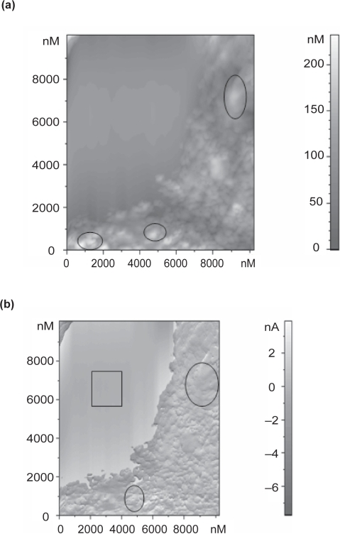 (a) Atomic force microscope topography image of platelets on a-C:H (Biased) after 1 hour incubation time (scan size 10 μm × 10 μm). Black circles are indicative of platelets. (b) Electric force microscope (MAG*COS) image of platelets on a-C:H (Floating) after 1 hour of incubation. The square shows the areas without platelets whereas the black circles indicate platelets.