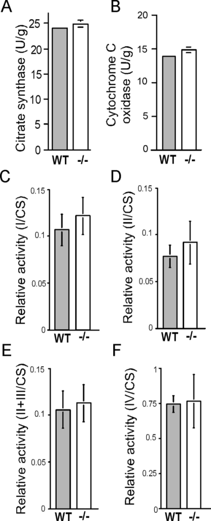 The amount of mitochondria and the activity of complexes of the oxidative phosphorylation system are unchanged in rpS6P−/− muscle.Mitochondria were isolated from hind limb muscle of four age-matched rpS6P+/+ (WT) and rpS6P−/− (−/−) male mice and were assayed for citrate synthase (A), cytochrome C oxidase (B), as well as complexes I (C), II (D), II+III (E) and IV (F) of the oxidative phosphorylation system. The activity of the different complexes was normalized to that of citrate synthase and the results are presented as relative activities. Vertical bars represent SEM (n = 4 age- matched male mice for each genotype).