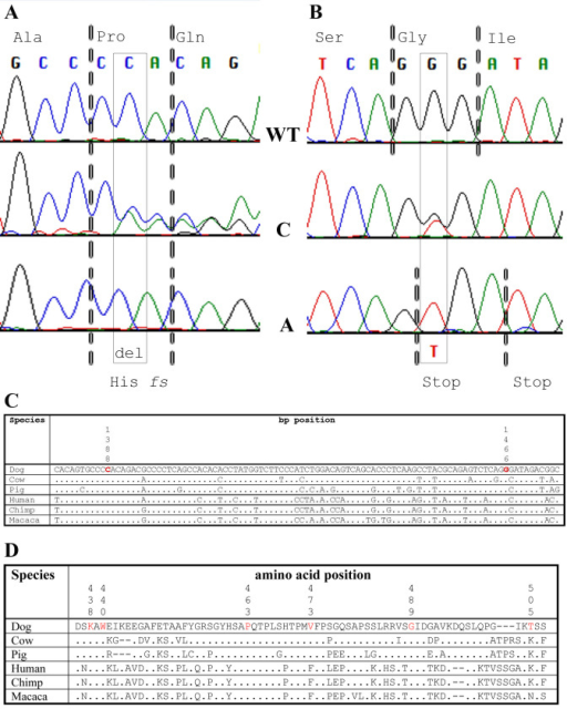 "Mutations identified in LH affected with canine multifocal retinopathy (cmr3). A C1388del/Pro463fs mutation (A, boxed) and linked G1466T/Gly489Val nucleotide substitution (B, boxed) were identified in canine bestrophin 1 (cBEST1) exon 10 of cmr3-affected Lapponian herder (LH). Wild-type sequence and resulting amino acids are identified on top (codons are separated by dotted lines), while the mutations and resulting amino acid changes are noted on the bottom. Note that the Gly489Val substitution leads to a stop codon within the Pro463fs altered reading frame. The carrier sequence in the middle is heterozygous for both changes. WT=wild type, C=carrier, A=cmr3 affected. C: Conservation of the nucleotide sequence between species. D: Comparison of partial bestrophin exon 10, amino acid 436 to 507 between different species demonstrates the conservation of identified variants. Positions 438, 440, 463, 473, 489, and 505 are highlighted in red. Dog=Canis familiaris, Cow=Bos taurus, Pig=Sus scrofa, Human=Homo sapiens, Chimp=Pan troglodytes, Macaca=Macaca fascicularis. "".""=position identical to Dog."