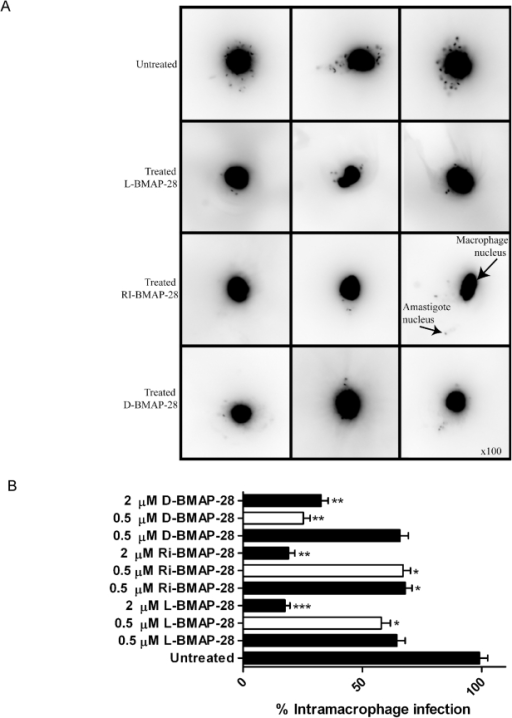 The effect of BMAP-28 isomers on intramacrophage L. major infection.(A) The figure displays images that were collected from peritoneal macrophages infected with L. major Seidman wt strains for 24 h, and treated with L-, RI- and D-BMAP-28 at 0.5 µM for an additional 24 h. Infected macrophages were stained with DAPI and examined under UV light with an upright fluorescent microscope, using 100 magnification. (B) Peritoneal macrophages were infection with L. major Seidman wt (filled) and ko strains (open) for 24 h, and treated with L-, RI- and D-BMAP-28 at 0.5 and/or 2 µM for 48 h. Infections were stained with DAPI and parasite burden was quantified as an average of 100 macrophages, and expressed as a percentage of the control infection. The average number of three complete biological replicates as well as the standard errors are shown. Paired T-tests untreated vs treated indicated significance, where * p<0.05, **p<0.005, ***p<0.0005.