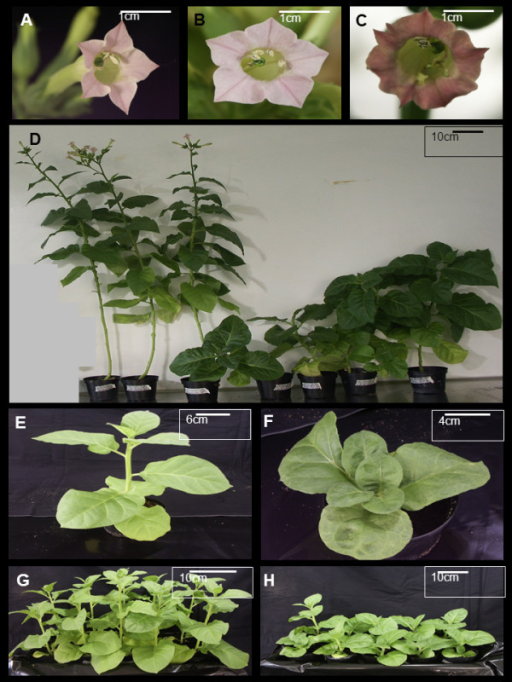 Phenotypes observed in Nicotiana tabacum plants expressing HC-Pro transgene. A typical morphology of flowers is indicated in the upper part of the figure (A-C). A wild type tobacco flower is presented in A, a vector control flower (pBIN61) in B and a transgenic HC-Pro expressing flower in C. Phenotypes of two wild type tobacco plants at the flowering state (on the left) and one vector control plant (pBIN61, in between of these wild type plants) and four transgenic HC-Pro expressing plants are presented in D. One representative of one-month old wild type tobacco plant (E) and one transgenic HC-Pro expressing plant (F) demonstrating differences in growth and leaf morphology. A growing pattern of 10 one-month old wild type tobacco plants (G) and 10 transgenic HC-Pro expressing plants (H) are presented at the bottom of the figure