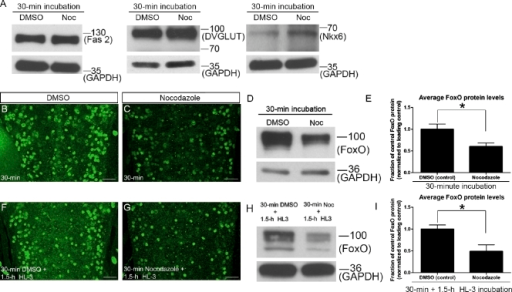 Acute MT disruption negatively regulates FoxO protein levels. (A) Representative immunoblots showing protein levels of Fasciclin 2 (Fas 2), DVGLUT, and Nkx6 after 30-min Noc treatment. n ≥ 2 blots/treatment/marker. (B, C, F, and G) Representative confocal images of four abdominal segments of L3 larval VNCs stained for FoxO after the indicated drug treatments. Bars, 20 µm. (D and H) Representative immunoblots showing FoxO protein levels in L3 larval CNS lysates after the listed DMSO and Noc application paradigms. (E and I) Quantification of changes in FoxO protein levels expressed as FoxO/GAPDH ratio normalized to DMSO controls after indicated Noc treatments. n ≥ 3 blots (six CNS/treatment/lane). Anterior is up. Error bars show means ± SEM. *, P < 0.05. Molecular masses are given in kilodaltons.