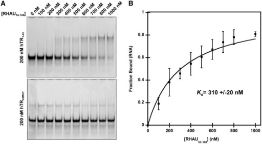 hTR1–43 interacts with an N-terminal RHAU truncation (RHAU53–105) containing the RSM. (A) Electrophoretic mobility shift assay demonstrating a specific interaction of RHAU53–105 with hTR1–43. 200 nM hTR RNA was incubated in a binding reaction with increasing concentrations of RHAU53–105 for 15 min at room temperature and the free RNA and RNA/protein complexes were resolved by native TBE polyacrylamide gel electrophoresis and stained with the nucleic acid dye SYBR Gold. The lower gel demonstrates a loss of interaction when G to C substitutions are introduced into the RNA sequence (hTR43MUT). (B) Quantification of the free RNA band for hTR1–43. Data represent the mean of three independent experiments ± standard deviation. Curve fitting and calculation of Kd was performed by a previously published method (34). Additional gel images are provided in Supplementary Figure S1.