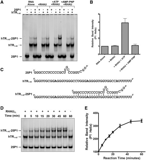 RHAU promotes the formation of the hTR P1 helix. (A) Native TBE gel electrophoresis of the RNAs 25P1 and hTR1–43 both alone and in complex. Duplex formation was assessed with 25P1 and hTR1–43 alone and together in the presence and absence of the full length recombinant RHAU protein and either 1 mM ATP or 1 mM AMP-PNP. Approximately 200 nM of hTR1–43 was combined with 400 nM 25P1 in a 25 µl reaction ± 50 nM RHAU and 1 mM ATP/1 mM AMP-PNP for 30 min at 30°C. RNAs were separated by native electrophoresis and stained with SYBR Gold. (B) Densitometry analysis of the hTR1–43-25P1 complex band intensity relative to the RNA alone lane. Data reveals an ATP-dependent 4-fold increase in P1 helix formation in the presence of RHAU. Data represent the mean of three independent experiments ± standard deviation. Additional gel images are provided in Supplementary Figures S4 and S5. (C) Schematic representing sequence details of the 25P1 RNA, hTR1–43 as well as the expected double stranded interaction product. (D) Time-course analysis of the hTR43-25P1 duplex formation in the presence of RHAU and 1 mM ATP. RHAU was added to the reaction mixture and the tubes were incubated at 30°C for the indicated time-points. RNAs were then separated by Native TBE gel electrophoresis. (E) Densitometry analysis of the hTR1–43 -25P1 complex band intensity relative to the 0 min time-point. Data represent the mean of three independent experiments ± standard deviation. Additional gel images are provided in Supplementary Figure S6.
