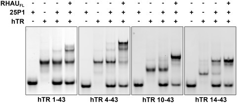 RHAU promotes the formation of the hTR P1 helix in all hTR 5′ truncations. Binding reactions were performed for each hTR RNA truncation with a 2-fold excess of the 25P1 RNA in the presence and absence of the full length RHAU protein. RNAs were incubated at 30°C for 30 min and then resolved by native TBE polyacrylamide gel electrophoresis. RHAU strongly enhanced P1 helix formation for each of the RNAs with enhanced efficiency observed in the 5′ truncated forms.