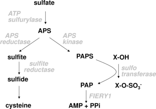 Scheme of plant sulfate metabolism.