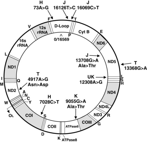 Schematic of circular mtDNA showing SNPs that define th | Open-i