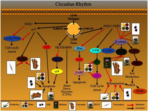 """the circadian rhythm effect How your gut and circadian rhythm affect your brain bacteria in your gut may affect cognitive development early in life  while psychological and physical stressors can affect the composition and metabolic activity of the gut microbiota,  and when the circadian rhythm is disturbed, it affects everything""""."""