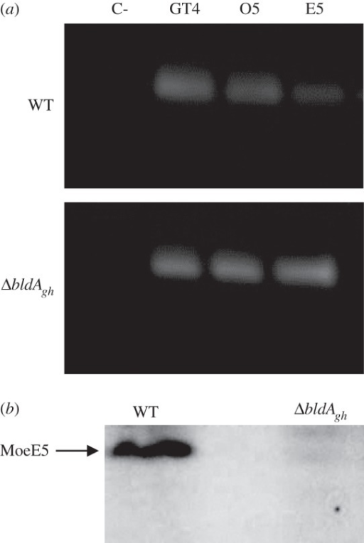 The bldAgh gene directly affects translation of moeE5. (a) RT-PCR analysis of moeE5, moeO5 and moeGT4 transcription in S. ghanaensis wild-type (WT) and bldA-deficient (ΔbldAgh) strains. Lane C-, negative control (rrnA amplification from RNA sample in absence of RT). (b) Western blot analysis of cell-free lysates from WT and ΔbldAgh strains. The lysates were obtained from mycelium harvested in moenomycin production phase (TSB, 72 h) and probed with anti-MoeE5 rabbit serum (raised as described in §5).