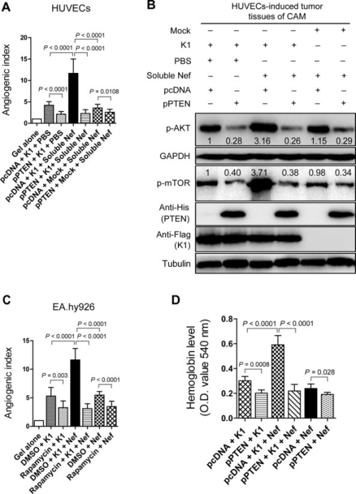 PTEN/AKT/mTOR pathway mediates K1- and Nef-induced angiogenesis in vivo. (A) Overexpression of PTEN suppressed the synergetic effect of soluble Nef protein on K1-induced angiogenesis in the CAM model. HUVECs transduced with K1 and incubated with soluble Nef protein for 72 h were transfected with pPTEN and a control plasmid (pcDNA) for 24 h. The treated cells were implanted onto the CAMs. The quantification of blood vessels is expressed as the mean ± SD from three independent experiments (n = 3), each experiment containing 10 technical replicates. (B) Western blot analysis of the phosphorylation levels of AKT and mTOR in tumor tissues from the CAMs treated as in (A). (C) Inhibition of mTOR activity suppressed the synergetic effect of ectopic Nef on K1-induced angiogenesis in the CAM model. EA.hy926 cells transduced with K1 and Nef were treated with rapamycin (100 nM) or the control reagent, DMSO. The collected cells were implanted onto the CAMs. The quantification of blood vessels is expressed as the mean ± SD from three independent experiments (n = 3), each experiment containing 10 technical replicates. (D) Overexpression of PTEN suppressed the synergetic effect of ectopic Nef on K1-induced angiogenesis in nude mice. EA.hy926 cells transduced with K1 and Nef were transfected with pPTEN and pcDNA for 72 h. The collected cells were examined for their proangiogenic effects in Matrigel plug assay in nude mice as described in the 'Materials and Methods' section. The hemoglobin content of the Matrigel plugs was determined with O.D. value at 540 nm. Data represent mean ± SD. n = 5 tumors per group. Three independent experiments were performed and gave similar results.