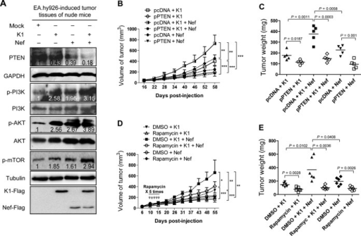 PTEN/AKT/mTOR pathway mediates K1- and Nef-induced tumorigenesis in nude mice. (A) Western blot analysis of total PTEN and phosphorylation levels of PI3K, AKT and mTOR in tumor tissues from nude mice induced by EA.hy926 cells transduced with K1, Nef or both. Numbers labeled under the bands were the relative intensities of the bands after calibrating for loading with the house-keeping protein or their nonphosphorylated proteins. The relative value of proteins in the Mock group was considered as '1'. (B) PTEN inhibits Nef promotion of K1-induced tumorigenesis. EA.hy926 cells transduced with K1, Nef or both were transfected with pPTEN or the control plasmid and inoculated into nude mice to induce tumors. The mice were daily monitored for the appearance of tumors until 58 days. Tumor size was estimated by two-dimensional caliper measurement. Data represent mean ± SD, each group with five tumors (n = 5). Two independent experiments were performed and similar results were obtained. (C) PTEN inhibits Nef promotion of K1-induced tumorigenesis indicated by tumor's weight. The tumors from nude mice treated as in (B) were removed and weighed. Scatter plots represent the weight of independent tumors from different groups. Data represent mean ± SD, each group with five tumors (n = 5). Two independent experiments were performed and similar results were obtained. (D) Activation of mTOR signals is required for Nef promotion of K1-induced tumorigenesis indicated by tumor size. EA.hy926 cells transduced with K1 and Nef were injected (s.c.) into the left flanks of mice for xenograft formation. The mice received the treatments by intraperitoneal injection of rapamycin. The results are expressed as the mean ± SD, each group with five tumors (n = 5). Two independent experiments were performed and similar results were obtained. (E) Activation of mTOR signals is required for Nef promotion of K1-induced tumorigenesis indicated by tumor weight. The tumors from nude mice treated as in (D) were removed and weighed. Scatter plots represent the weight of independent tumors from different groups. Data reflect the mean ± SD. Data represent mean ± SD, each group with five tumors (n = 5). Two independent experiments were performed and similar results were obtained.