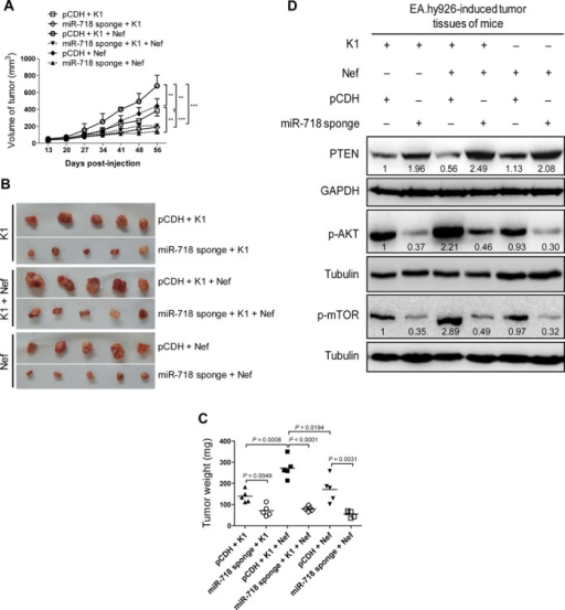 miR-718 mediates K1- and Nef-induced tumorigenesis in nude mice. (A) Inhibition of miR-718 abrogates the enhanced effect of Nef on K1-induced tumorigenesis. EA.hy926 cells transduced with K1, Nef or both were infected with control virus (pCDH) or miR-718 sponge for 72 h and further re-suspended in serum-free medium. As detailed in the 'Materials and Methods' section, the treated cells were injected (s.c.) into nude mice. The sizes of tumors from nude mice were determined by two-dimensional caliper measurements. Data represent mean ± SD, each group with five tumors (n = 5). Two independent experiments were performed and similar results were obtained. ** and *** indicate P < 0.01 and P < 0.001 by Student's t-test, respectively. (B) Tumor-bearing mice were killed at day 56 after injections, and tumors were removed and pictures were taken. (C) Inhibition of miR-718 abrogates the enhanced effect of Nef on K1-induced tumorigenesis. The tumors from nude mice treated as in (A) were removed and weighed. Scatter plots represent the weights of independent tumors from different groups. Data represent mean ± SD, each group with five tumors (n = 5). Two independent experiments were performed and similar results were obtained. (D) Inhibition of miR-718 increased total PTEN level and suppressed the enhanced phosphorylation of AKT and mTOR by K1 and Nef. The tumor tissues from nude mice treated as in (A) were removed, and the expression of total PTEN, phosphorylation levels of AKT and mTOR in tumor tissues were analyzed by Western blot. Numbers labeled under the bands were the relative intensities of the bands after calibration for loading with the house-keeping protein tubulin. The relative value of proteins in K1 + pCDH group was considered as '1'.