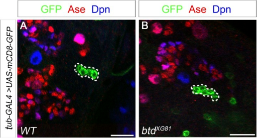 Btd likely does not function in mature INPs.(A) A wild-type INP clone with 4 post-mitotic cells. (B) A btd mutant INP clone with 6 post-mitotic cells. INP clones labeled with mCD8-GFP are outlined by dashed circles. INP clones are identified as clones that have more than two cells but no NBs.DOI:http://dx.doi.org/10.7554/eLife.03596.010