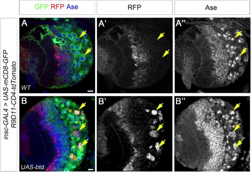 Overexpression of Btd promotes the generation of INP-like cells.(A–A′′) INP specific marker R9D11-CD4-tdTomato is not expressed in any type I NB lineages (e.g. arrows) on the ventral side of a larval brain. (B–B′′) Overexpression of Btd induces the generation of INP-like cells in a subset of type I NB lineages on the ventral side of a larval brain as indicated by the expression of R9D11-CD4-tdTomato (e.g. arrows).DOI:http://dx.doi.org/10.7554/eLife.03596.018