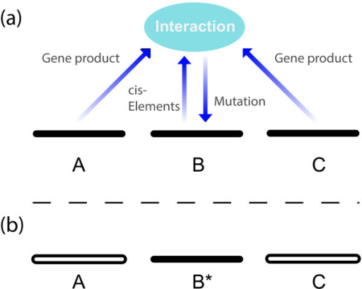 "Mutation as a biological process. a) Mutation as a biological processmeans that genes interact in the determination of mutation. In the schematicfigure, information from three different loci (A, B and C) comes together,through cis-acting elements and trans-acting factors, to affect theprobability and nature of a genetic change in one of these loci (B). Inputsinto this mutational process are shown by the annotated arrows. The downwardarrow represents the writing of mutation, for example by components of theso-called ""error-repair"" machinery, here not restoring butchanging the genetic state from what it was previously. In reality, manymore pieces of information than depicted here for simplicity may beinvolved. b) After meiosis, the changed locus (B*) carries in it aninformation-signature from the combination that participated in thegeneration of the change, and thus allows the combination as a whole to havea lasting effect, even though its components are no longer all present."