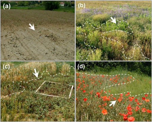 "Gradients in cereal fields partially damaged by the deposition of mining waste.Arrows indicate the direction of the increasing deposition of mining waste. Soil gradient before crop emergence (a); Zone 3, Cluster B weeds, facies with Consolida regalis (violet flowers) (b); Zone 4, Cluster C weeds, facies with Persicaria lapathifolia; 1 m×1 m quadrat for biomass harvest is shown (c); Zone 3, Cluster B, facies with Papaver rhoeas (red flowers) (d). Rumex acetosella, Agrostis capillaris and Persicaria lapathifolia can be observed at the highest soil pollution levels (the ""green band"", marked by dashed line; b, c and d)."